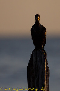 Cormorant at sunrise