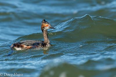 Eared Grebe male in breeding plumage