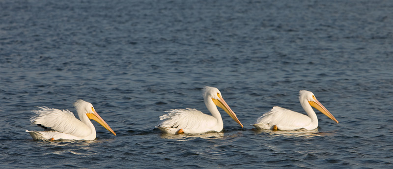 White Pelicans in Seabrook, TX