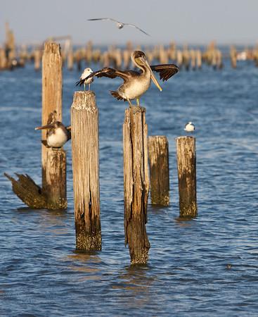 Brown Pelicans in Seabrook, TX