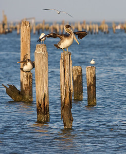 Brown Pelicans in Seabrook, TX