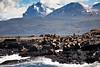 Sea Lions, Beagle Canal, Tierra del Fuego, Patagonia