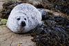 Common seal - Loch Scavaig, Isle of Skye