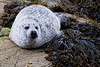 Common seal - Loch Scavaig, Isle of Skye