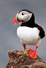 Puffin, Latrabjarg cliffs