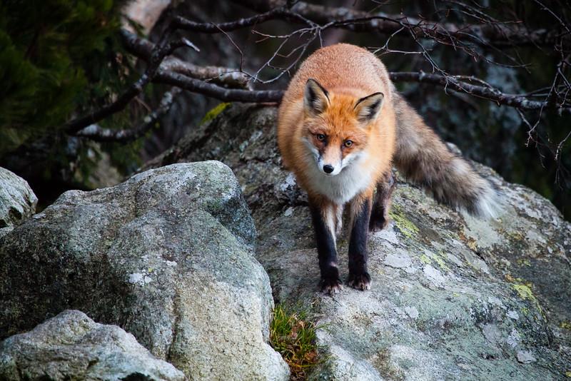 Red fox, High Tatras, Slovakia