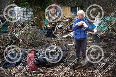 Allotmenteers in Pontypridd begin the clean up of their growing space following the wreakage to the Tin Plate Allotments by the burst banks of the River Taff brought by the rain and floods of Storm Dennis.  Tin Plate Allotment treasurer Julie Bliszko on the remains of her allotment with one of her surviving ducks.  Copyright © 2020 by Adrian White  Photography, all rights reserved. For permission to publish - contact me via www.adrianwhitephotography.co.uk Please respect copyright laws.