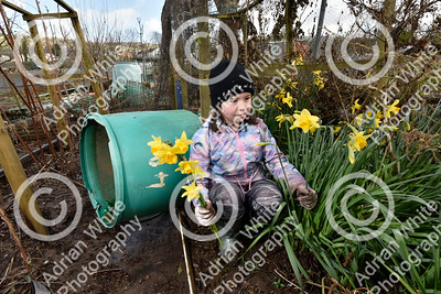 Allotmenteers in Pontypridd begin the clean up of their growing space following the wreckage to the Tin Plate Allotments by the burst banks of the River Taff brought by the rain and floods of Storm Dennis.  Isobel Fraser aged 10 picking a bunch of surviving daffodils previously submerged on her grandfather's plot.  Copyright © 2020 by Adrian White  Photography, all rights reserved. For permission to publish - contact me via www.adrianwhitephotography.co.uk Please respect copyright laws.