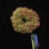 Tillansia bromeliad, grower's choice award