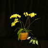 Phalaenopsis orchid, Grower's choice award