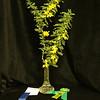 Senna Desert Cassia,  Arboreal National Horticulture Award