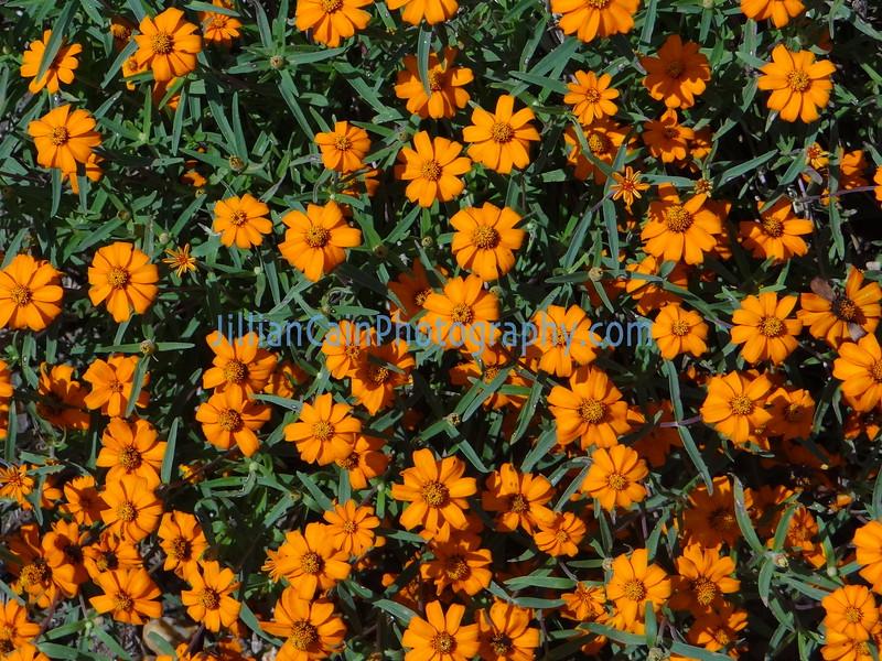 orange and green daisy plants