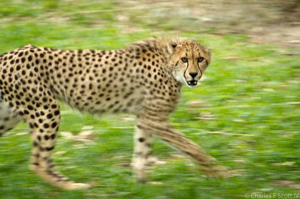 IMAGE: http://www.cscott4.com/Zoos/2011-Caldwell-Zoo-Tyler-Texas/i-x6md4rB/3/XL/201105081332-XL.jpg