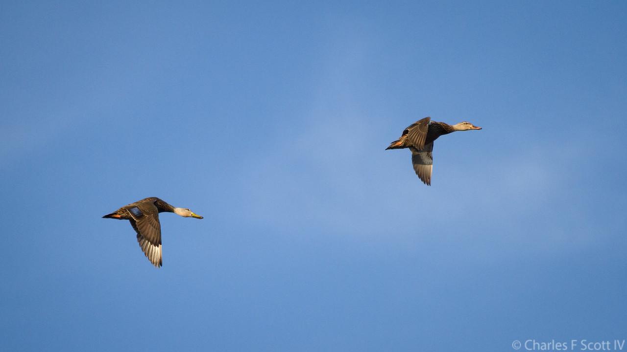 IMAGE: https://photos.smugmug.com/Public/2011-Wildlife/i-RHVxr22/1/232bed43/X2/20111109-5513-X2.jpg