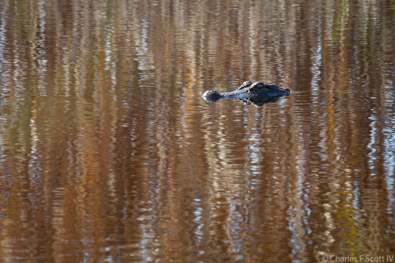 Alligator in Fall