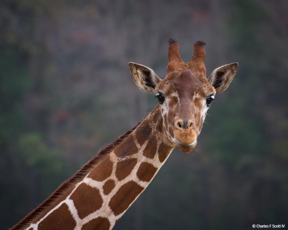IMAGE: http://www.cscott4.com/Zoos/2012-Caldwell-Zoo-Tyler-Texas/i-8Z46vWS/0/XL/20121208-5854-XL.jpg
