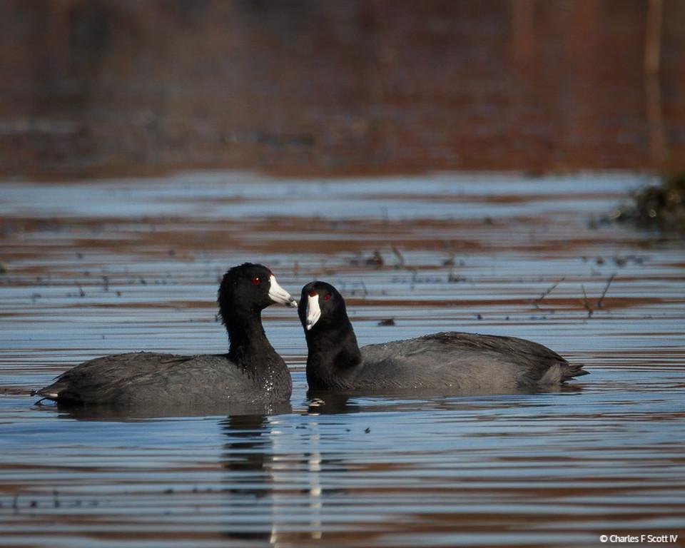 IMAGE: http://www.cscott4.com/Animals/2012-Wildlife/i-NBCdWvr/1/XL/20121117-5418-XL.jpg