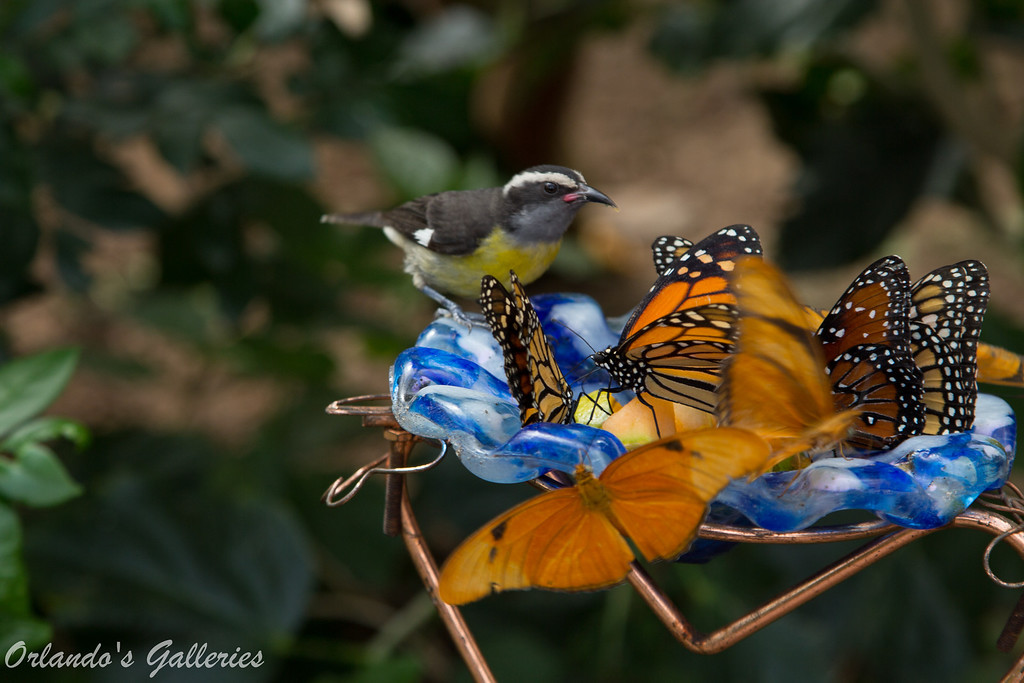 Something's strange about one of these butterflies.