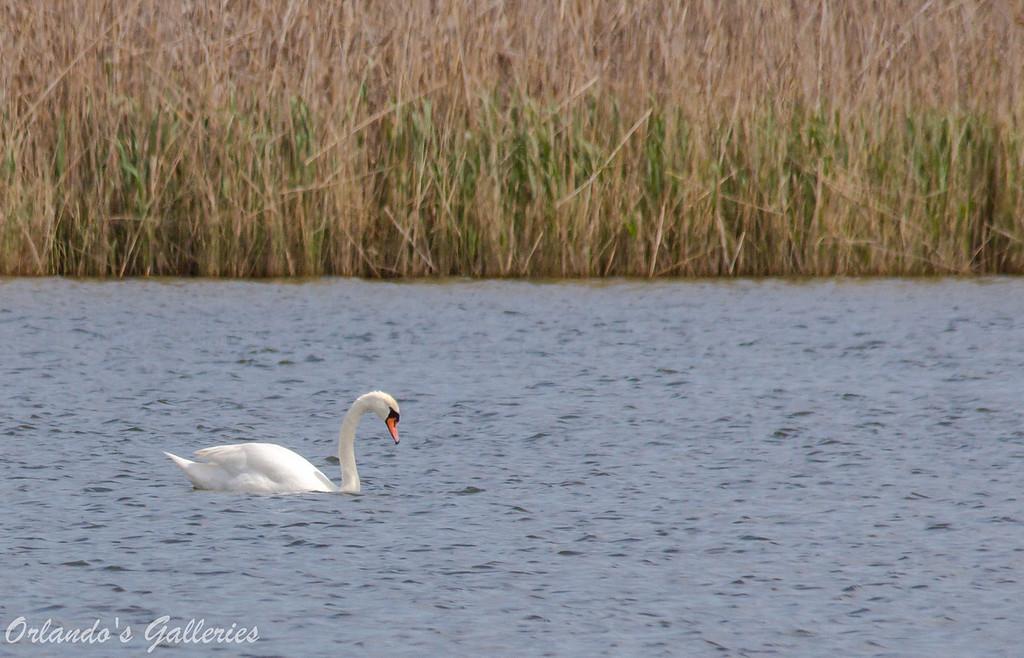 """Mute Swan<br /> <a href=""""http://www.allaboutbirds.org/guide/Mute_Swan/id"""">http://www.allaboutbirds.org/guide/Mute_Swan/id</a>"""