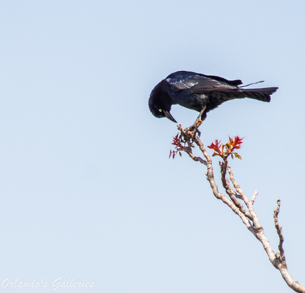 """Great-tailed Grackle<br /> <a href=""""http://www.allaboutbirds.org/guide/Great-tailed_Grackle/id"""">http://www.allaboutbirds.org/guide/Great-tailed_Grackle/id</a>"""