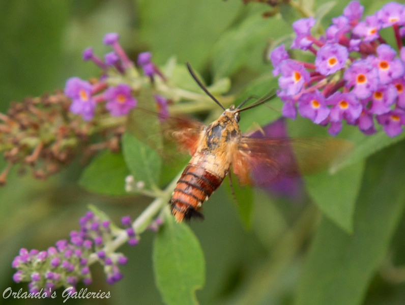 Hummingbird moth: They belong to the family of moths technically call the Sphingidae family or Sphinx family of moths