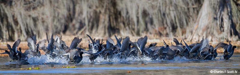IMAGE: http://www.cscott4.com/Animals/2013-Wildlife/i-CXtLdPk/0/XL/20130202-6554-XL.jpg