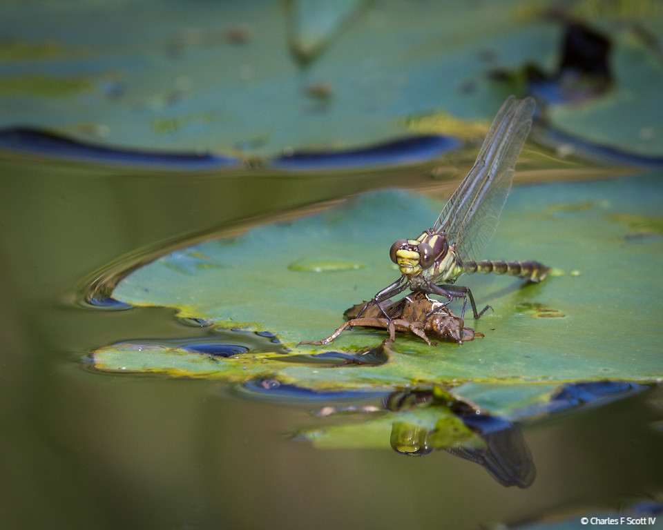 IMAGE: http://www.cscott4.com/Animals/2013-Wildlife/i-CjcF7w7/1/XL/20130607-0109-XL.jpg