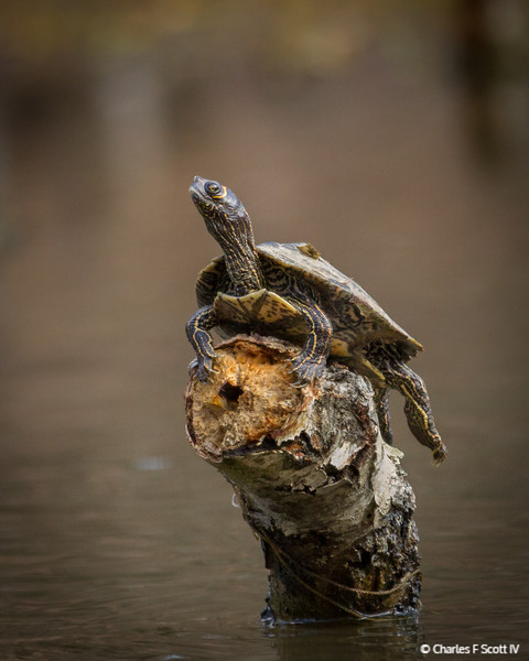 Watchful Turtle