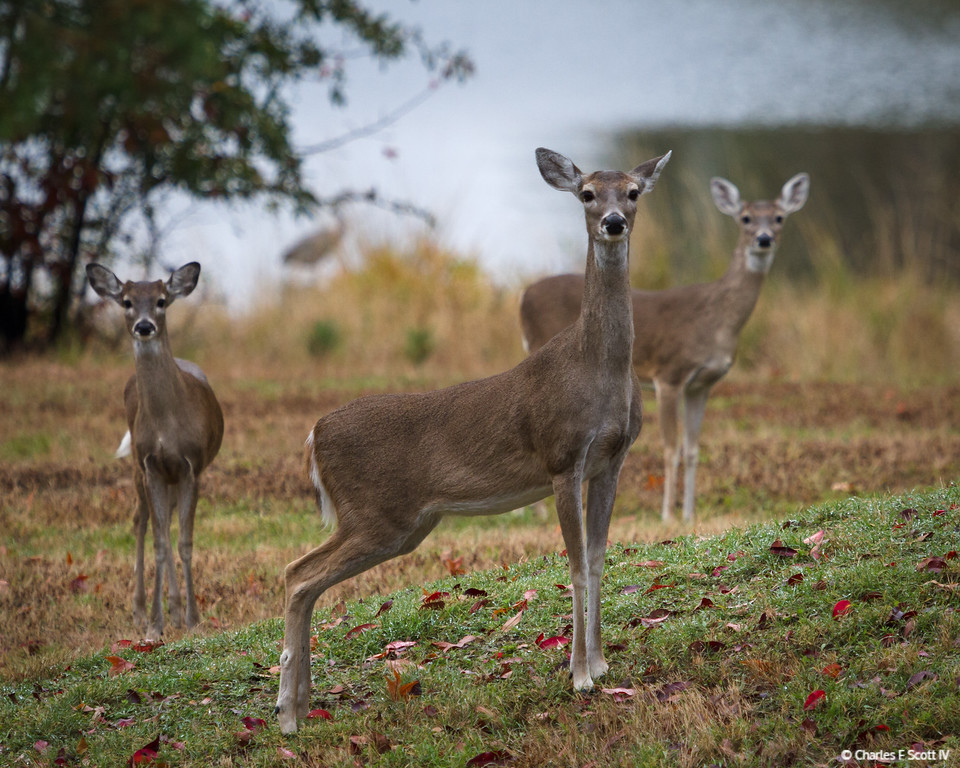 IMAGE: http://www.cscott4.com/Animals/2013-Wildlife/i-J52Gfn9/0/XL/20131123-3700-XL.jpg