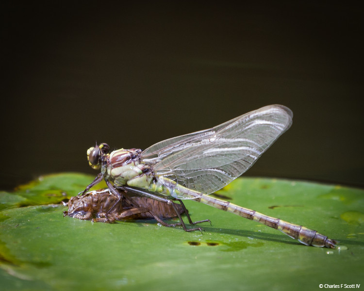 Dragonfly Metamorphosis