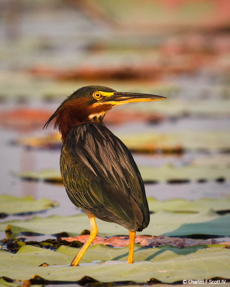 Green Heron in morning light