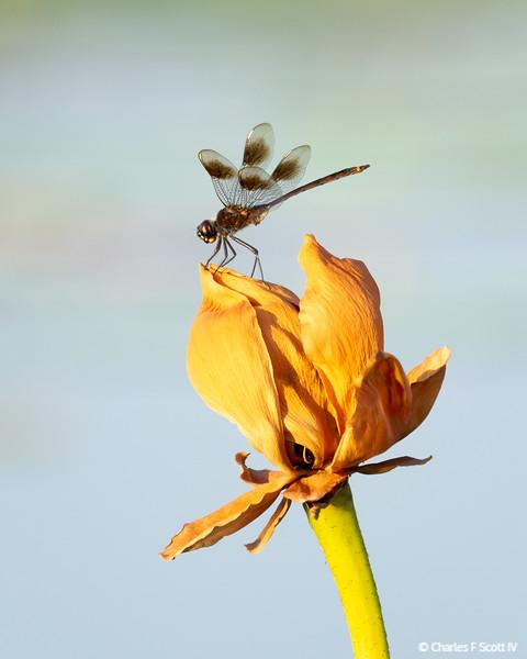 Dragonfly in morning light