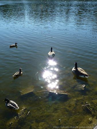 Magiczna gęś / Magical goose