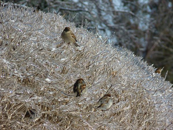 Lodowy żywopłot / Glacial hedge