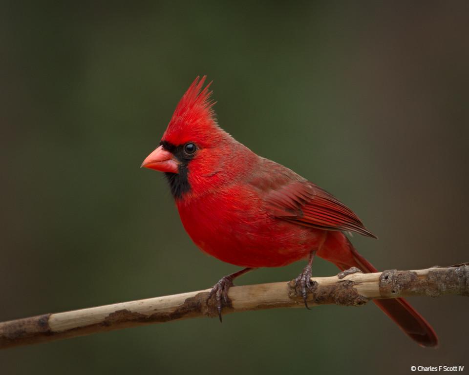 IMAGE: http://www.cscott4.com/Animals/2014-Wildlife/i-BK4D52b/0/XL/20140208-4361-XL.jpg