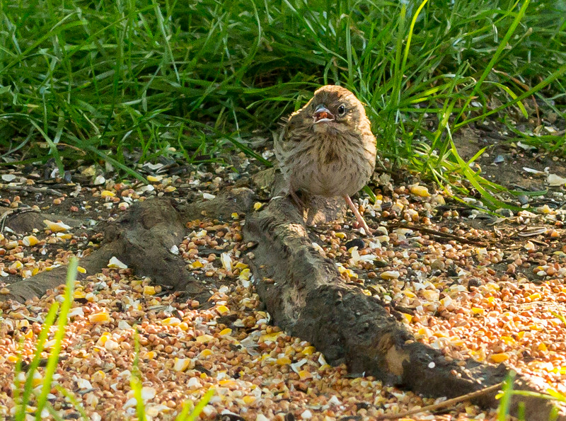 young song sparrow