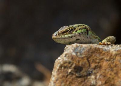Italian Rock Lizard