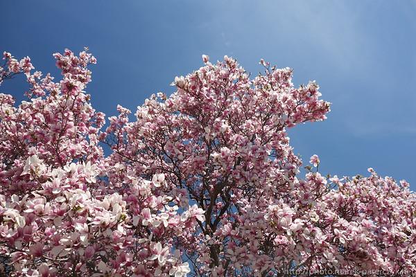 Kwtinące magnolie