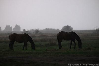 Konie w wieczornym deszczu