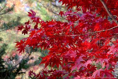 Czerwień jesiennych liści