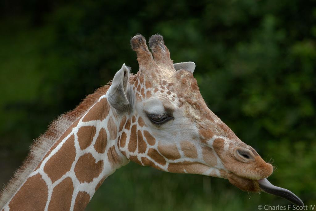 IMAGE: http://www.cscott4.com/Public/2015-Zoo/i-kHrdGhw/0/XL/20150626-0003-XL.jpg