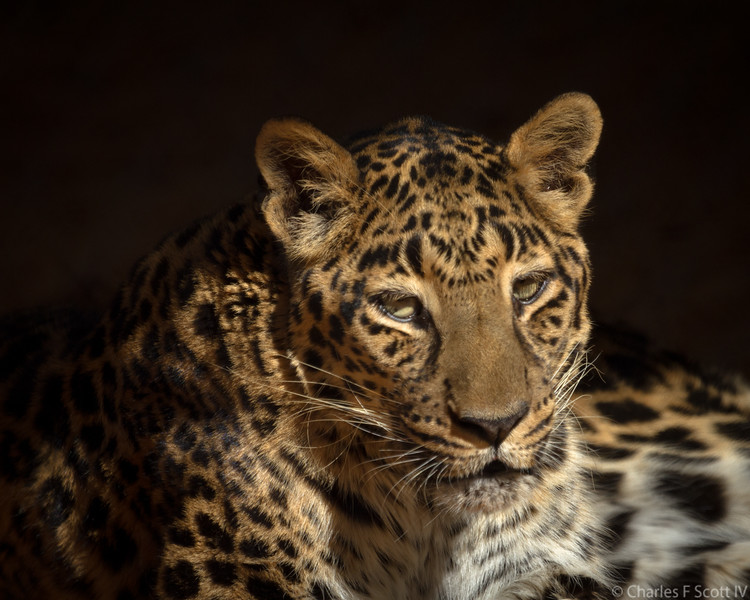 Leopard at Tiger Creek