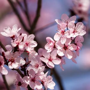 February Plum Blossoms