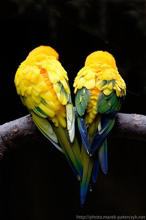 Sun parakeets