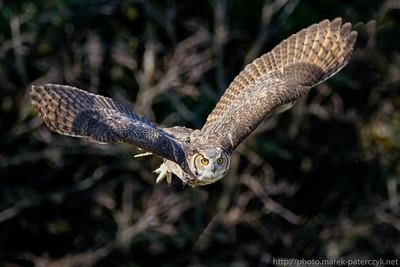 Puchacz wirginijski / Great Horned Owl