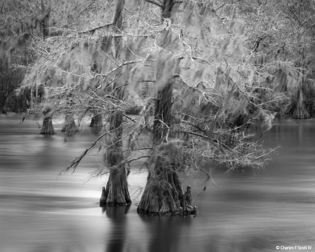Spanish Moss in the Breeze