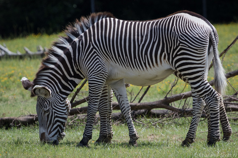 Eight legged Zebra!