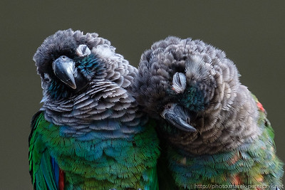 Green Cheek Conures