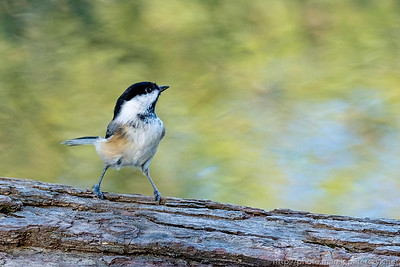 Chickadee in Napoleon's pose