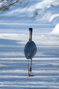 Winter Egret